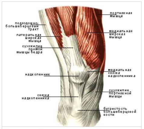 Мышцы передней группы правого колена
