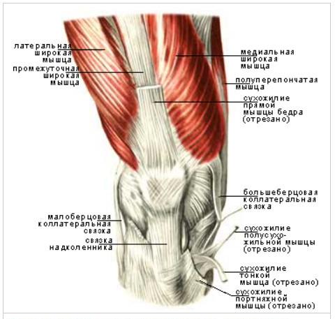 Передняя группа окружения коленного сустава