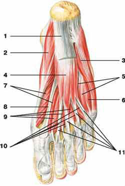 Латеральная группа мышц стопы