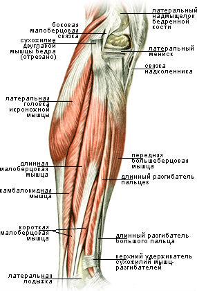 Двуглавая мышца голени