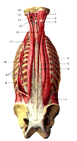 Глубокие мышцы спины и затылка