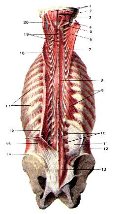 Глубокие мышцы спины и затылка-2