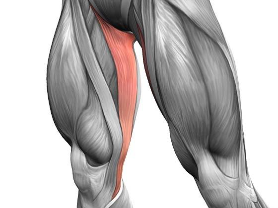 Тонкая мышца