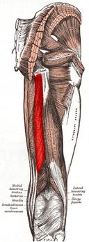 Полусухожильная мышца