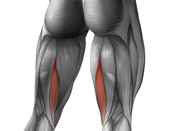 Полуперепончатая мышца