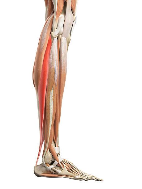 Камбаловидная мышца