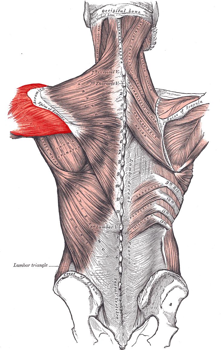 Дельтовидная мышца