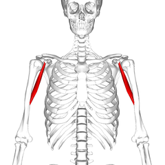 Клювовидно-плечевая мышца